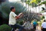 Shaping the bonsi at Nong Nooch Tropical Gardens